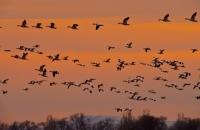 snow-geese-11-1-25-1024x518(pp_w900_h455)